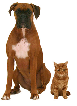 Boxer and cat